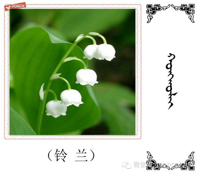 蒙古花的名词(花) 第22张