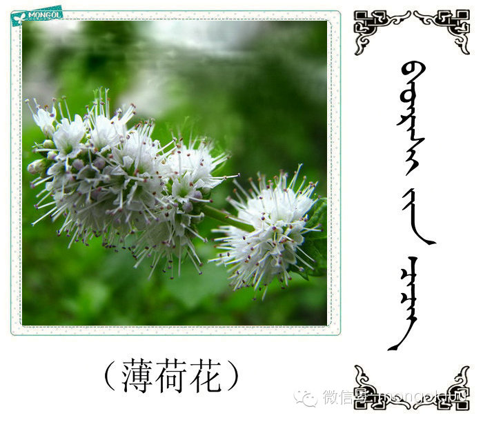蒙古花的名词(花) 第18张