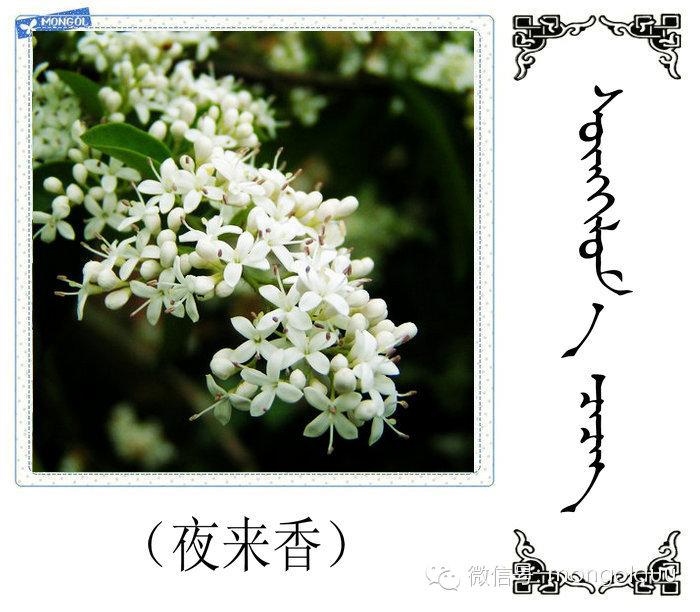 蒙古花的名词(花) 第19张