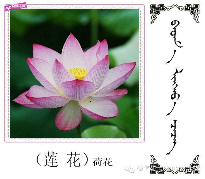 蒙古花的名词(花) 第21张