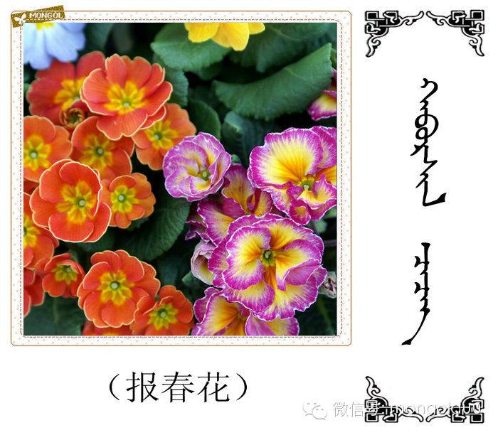 蒙古花的名词(花) 第23张