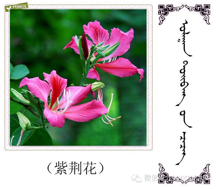 蒙古花的名词(花) 第24张