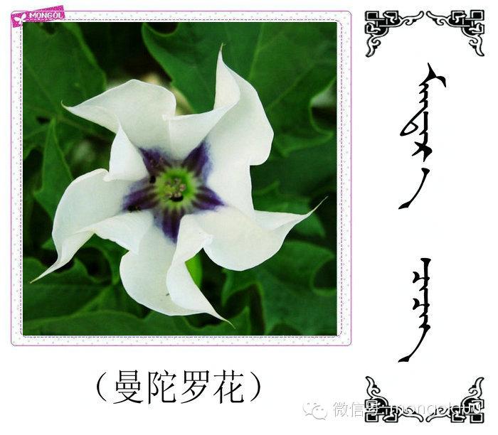蒙古花的名词(花) 第28张