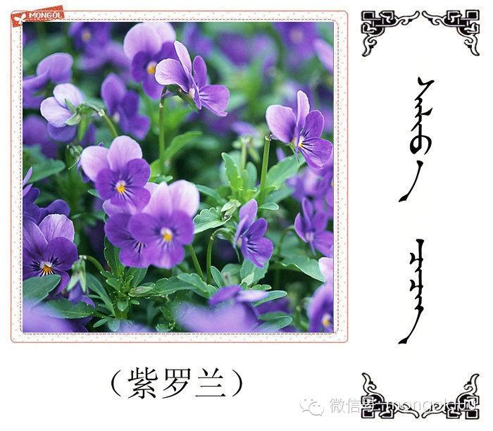 蒙古花的名词(花) 第29张