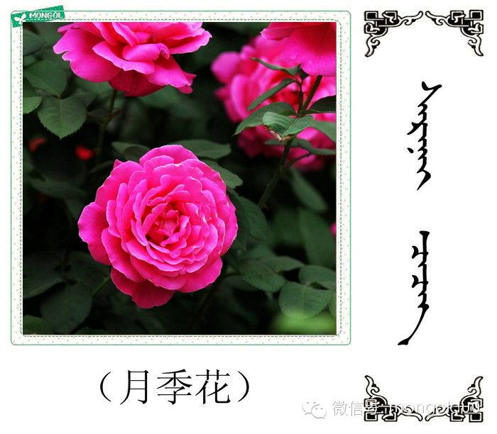 蒙古花的名词(花) 第31张