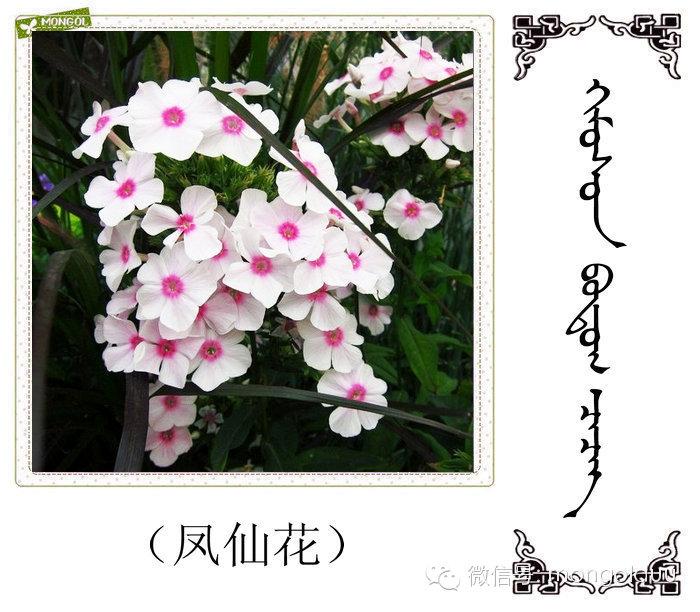 蒙古花的名词(花) 第30张