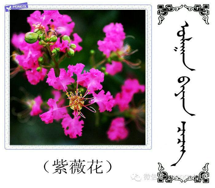 蒙古花的名词(花) 第32张