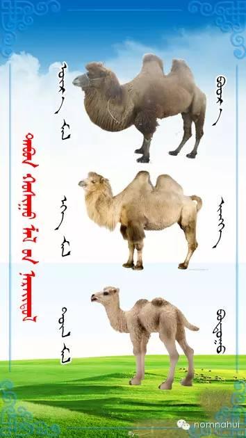 nomnahui(第二十九期)蒙古族五种牲畜蒙文名称对照图 第1张