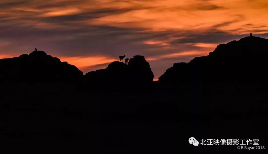 蒙古国摄影师B.Bayar野生动物照片欣赏 第3张 蒙古国摄影师B.Bayar野生动物照片欣赏 蒙古文化