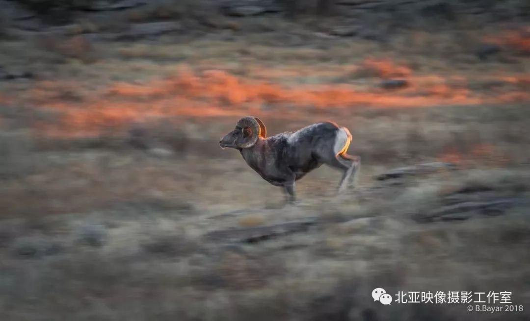 蒙古国摄影师B.Bayar野生动物照片欣赏 第2张 蒙古国摄影师B.Bayar野生动物照片欣赏 蒙古文化