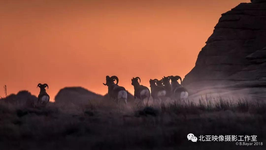 蒙古国摄影师B.Bayar野生动物照片欣赏 第5张 蒙古国摄影师B.Bayar野生动物照片欣赏 蒙古文化