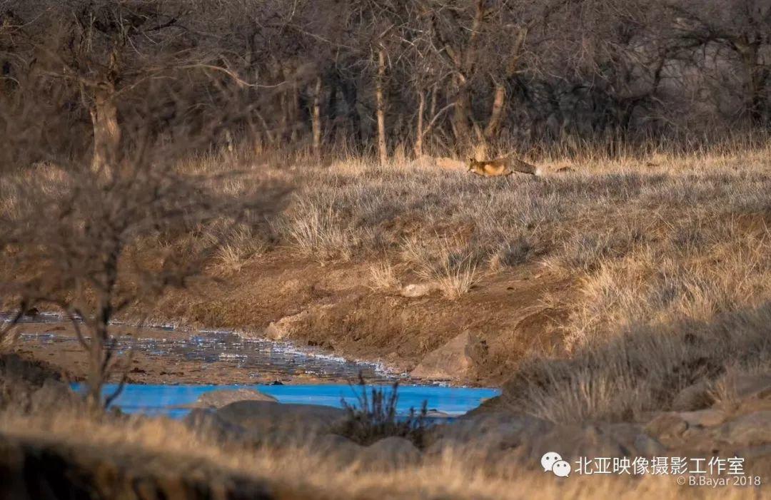 蒙古国摄影师B.Bayar野生动物照片欣赏 第6张 蒙古国摄影师B.Bayar野生动物照片欣赏 蒙古文化