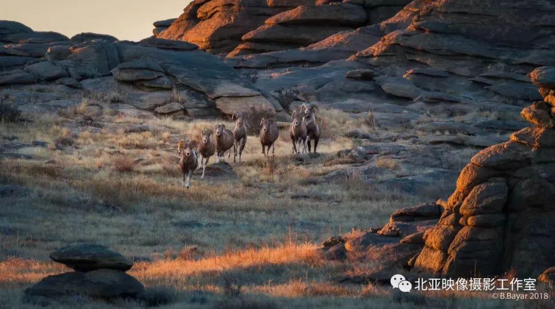 蒙古国摄影师B.Bayar野生动物照片欣赏 第7张 蒙古国摄影师B.Bayar野生动物照片欣赏 蒙古文化