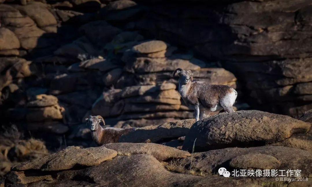 蒙古国摄影师B.Bayar野生动物照片欣赏 第12张 蒙古国摄影师B.Bayar野生动物照片欣赏 蒙古文化