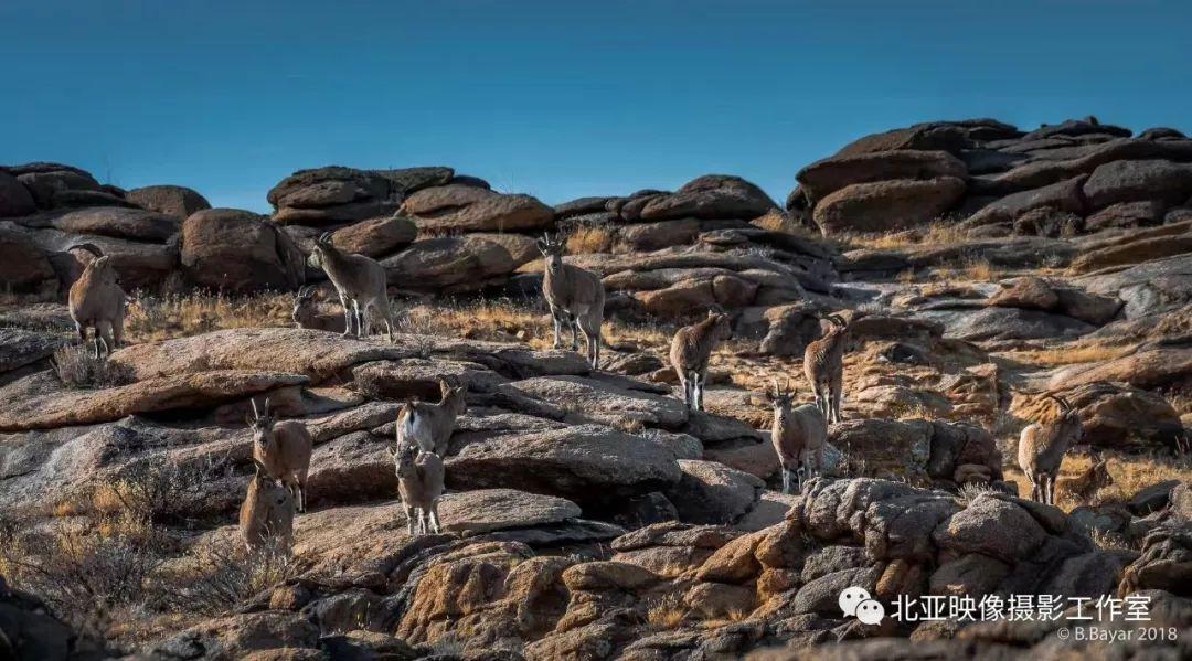 蒙古国摄影师B.Bayar野生动物照片欣赏 第10张 蒙古国摄影师B.Bayar野生动物照片欣赏 蒙古文化