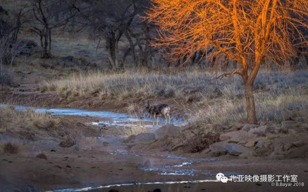 蒙古国摄影师B.Bayar野生动物照片欣赏 第11张 蒙古国摄影师B.Bayar野生动物照片欣赏 蒙古文化