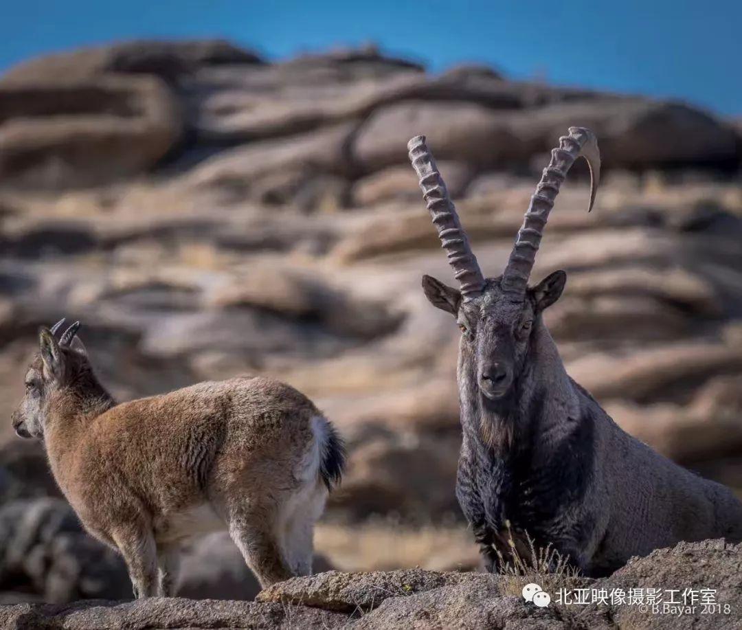 蒙古国摄影师B.Bayar野生动物照片欣赏 第13张 蒙古国摄影师B.Bayar野生动物照片欣赏 蒙古文化
