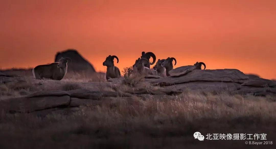 蒙古国摄影师B.Bayar野生动物照片欣赏 第14张 蒙古国摄影师B.Bayar野生动物照片欣赏 蒙古文化