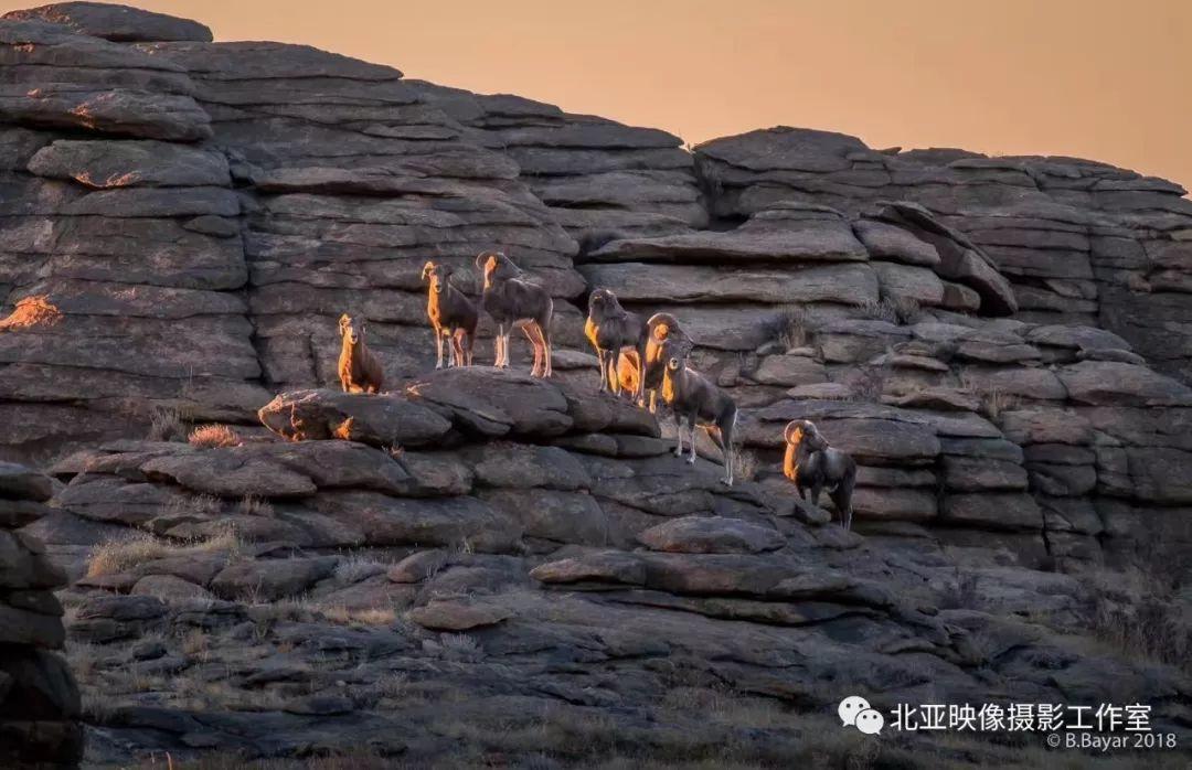 蒙古国摄影师B.Bayar野生动物照片欣赏 第17张 蒙古国摄影师B.Bayar野生动物照片欣赏 蒙古文化