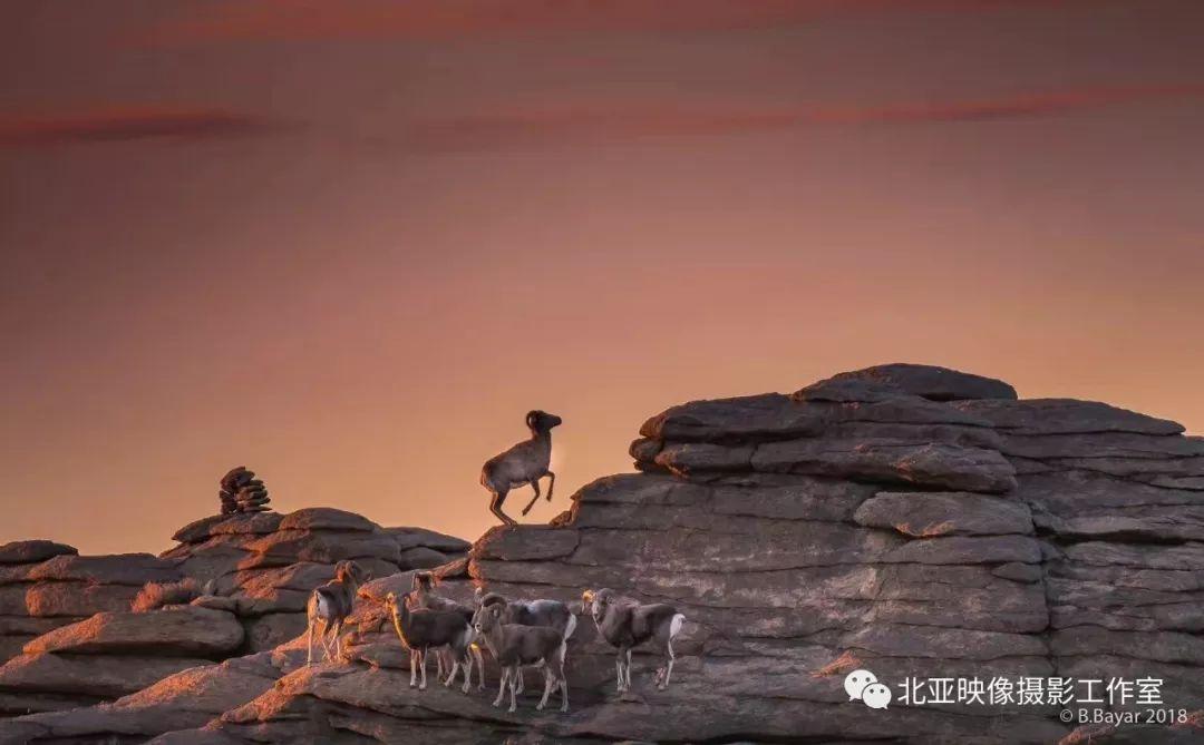 蒙古国摄影师B.Bayar野生动物照片欣赏 第18张 蒙古国摄影师B.Bayar野生动物照片欣赏 蒙古文化