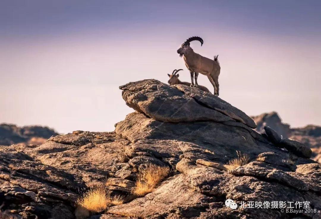 蒙古国摄影师B.Bayar野生动物照片欣赏 第16张 蒙古国摄影师B.Bayar野生动物照片欣赏 蒙古文化