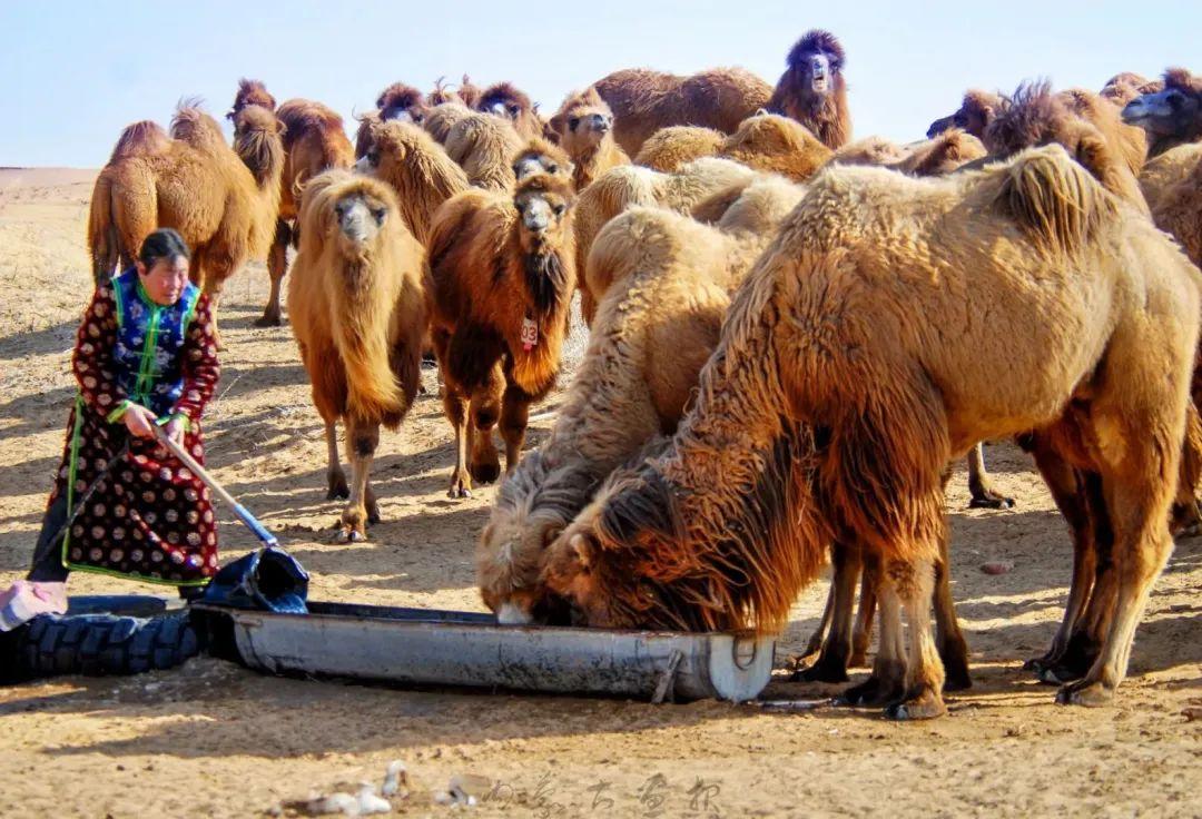 追光录影20载 沙海边陲护驼人 第7张