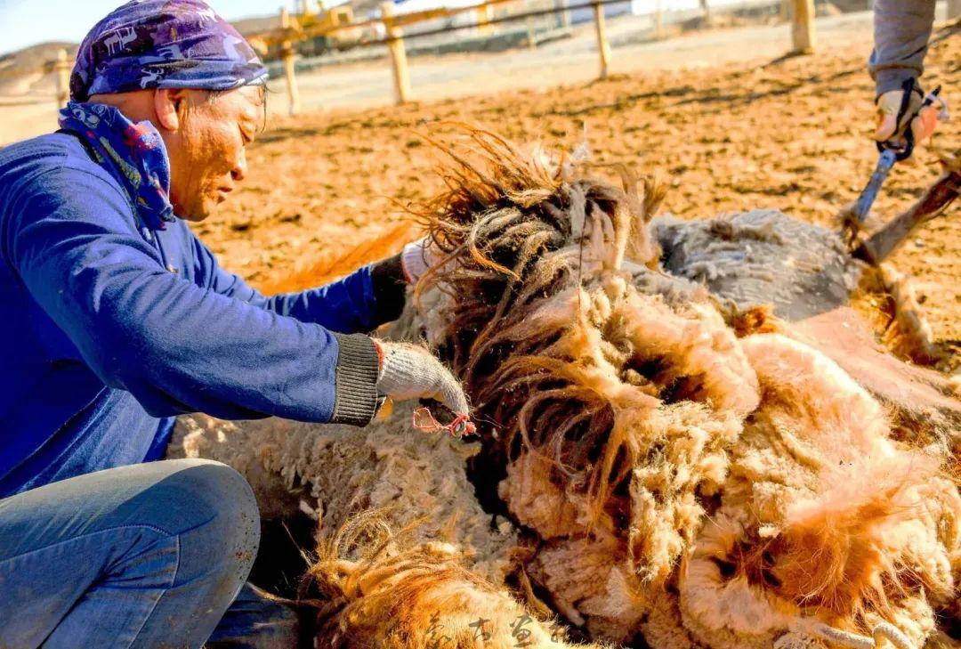 追光录影20载 沙海边陲护驼人 第10张