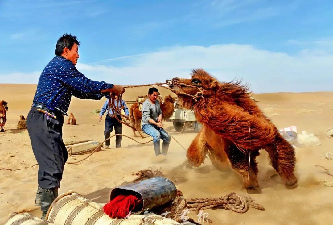 追光录影20载 沙海边陲护驼人 第23张