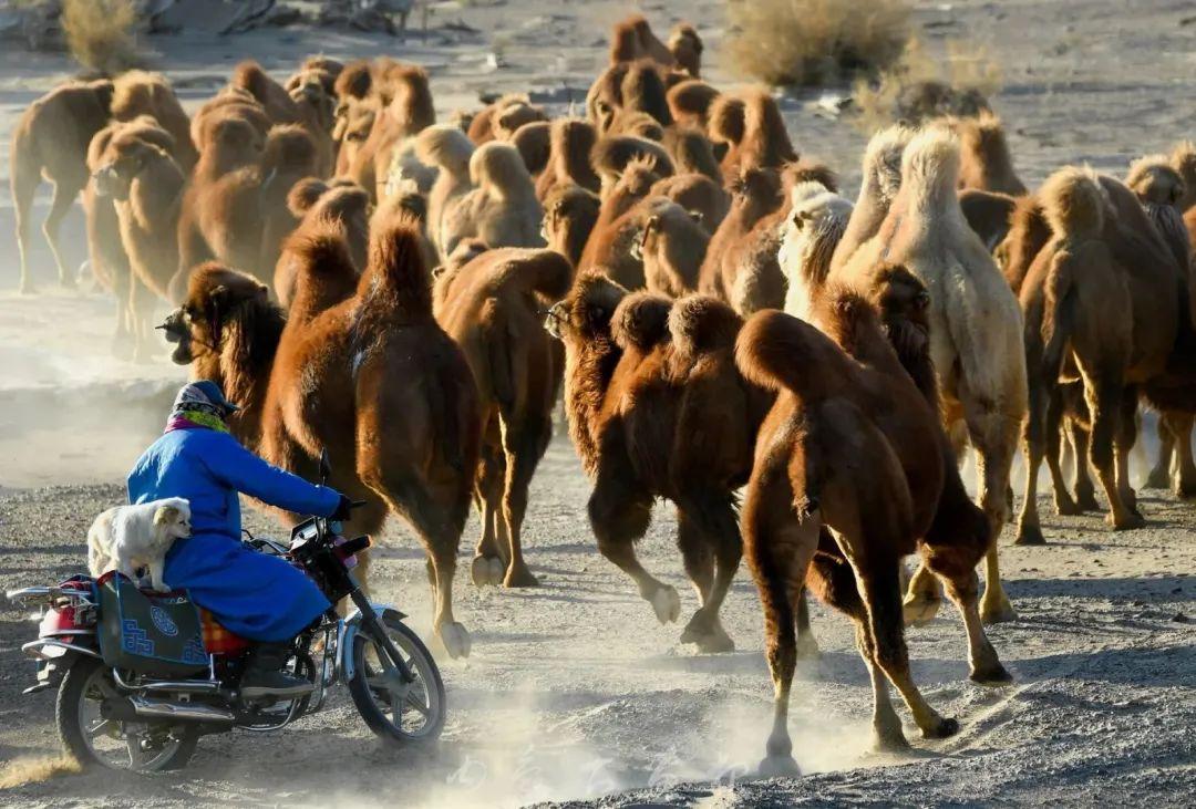追光录影20载 沙海边陲护驼人 第25张