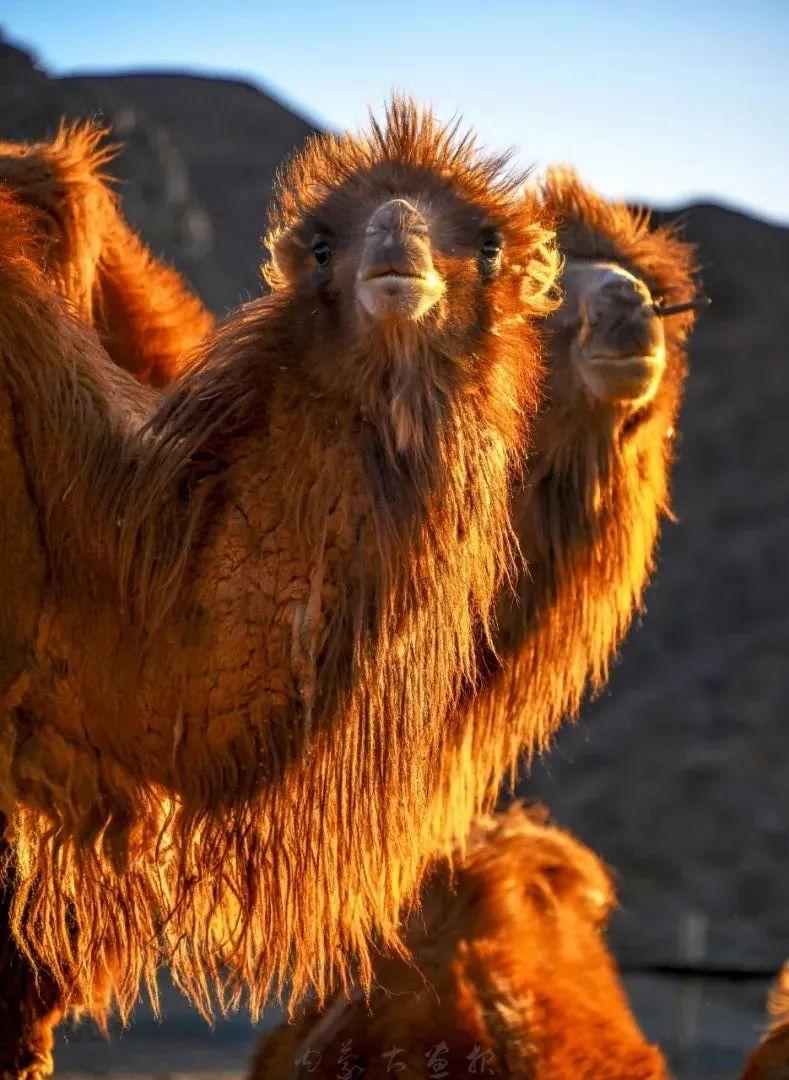 追光录影20载 沙海边陲护驼人 第24张