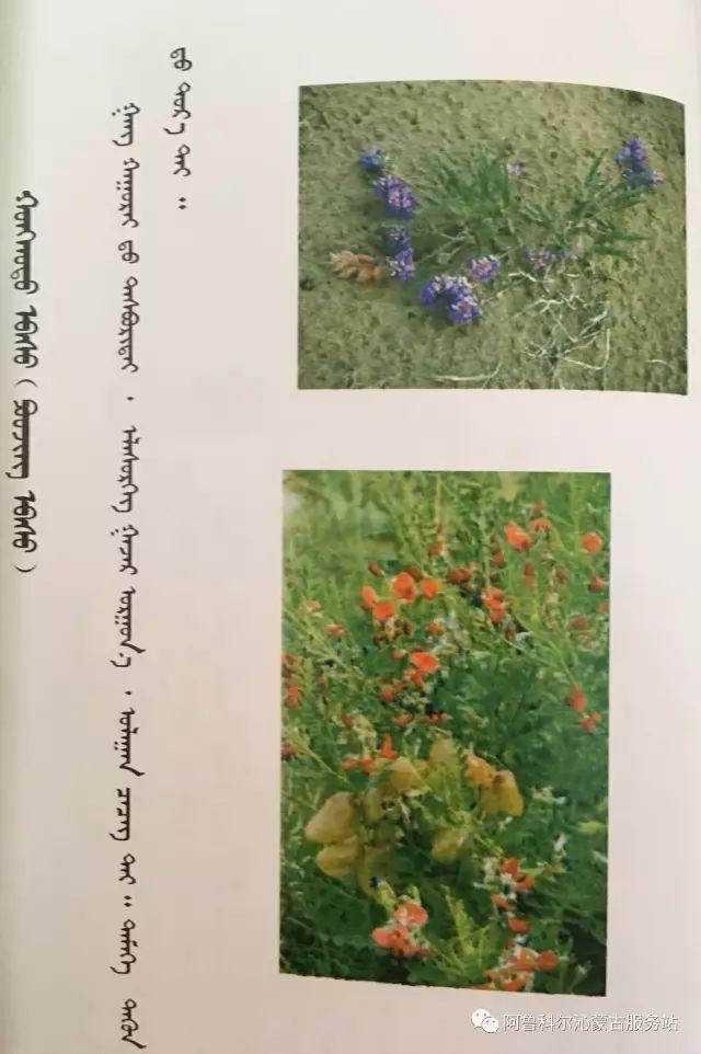 100 多种草的蒙古文介绍 第6张 100 多种草的蒙古文介绍 蒙古文库