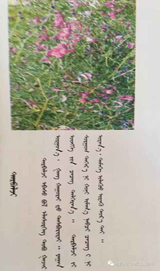 100 多种草的蒙古文介绍 第10张 100 多种草的蒙古文介绍 蒙古文库
