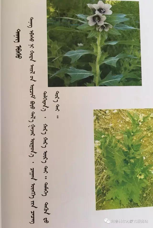 100 多种草的蒙古文介绍 第7张 100 多种草的蒙古文介绍 蒙古文库