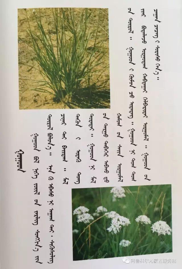 100 多种草的蒙古文介绍 第11张 100 多种草的蒙古文介绍 蒙古文库