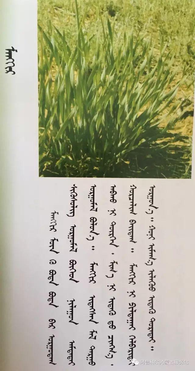 100 多种草的蒙古文介绍 第14张 100 多种草的蒙古文介绍 蒙古文库