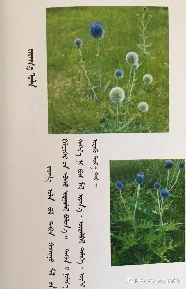 100 多种草的蒙古文介绍 第17张 100 多种草的蒙古文介绍 蒙古文库