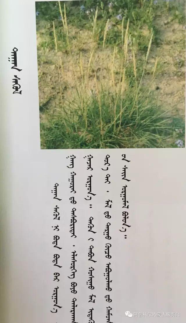 100 多种草的蒙古文介绍 第16张 100 多种草的蒙古文介绍 蒙古文库