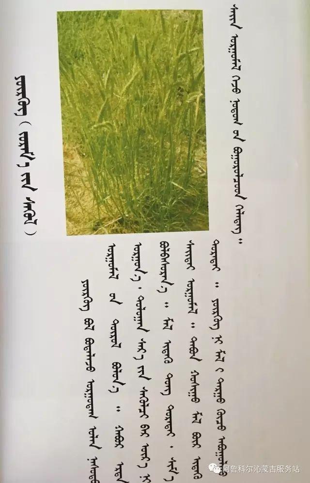 100 多种草的蒙古文介绍 第19张 100 多种草的蒙古文介绍 蒙古文库