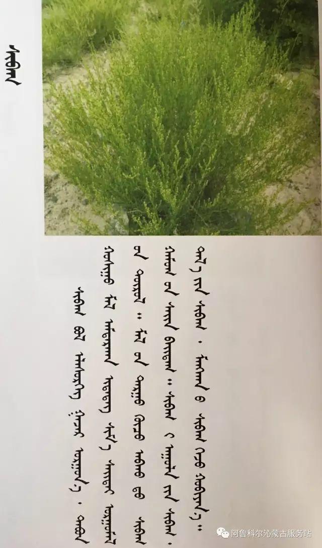 100 多种草的蒙古文介绍 第24张 100 多种草的蒙古文介绍 蒙古文库