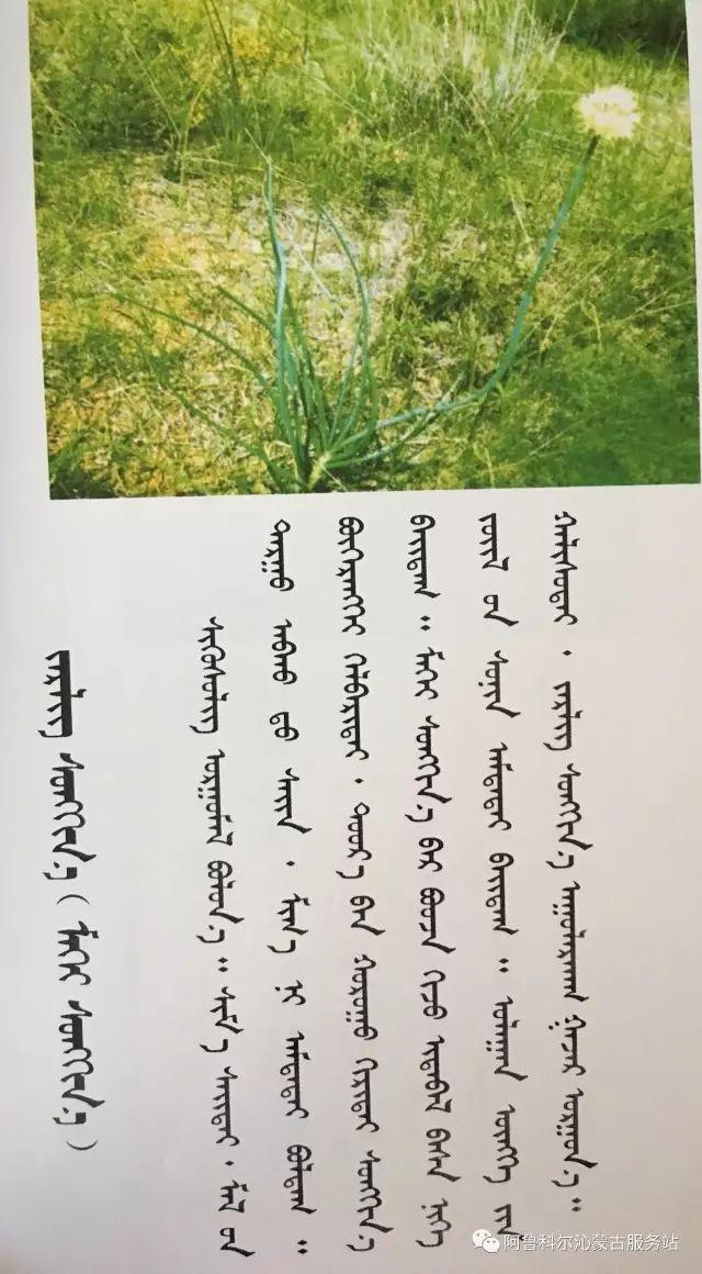 100 多种草的蒙古文介绍 第21张 100 多种草的蒙古文介绍 蒙古文库
