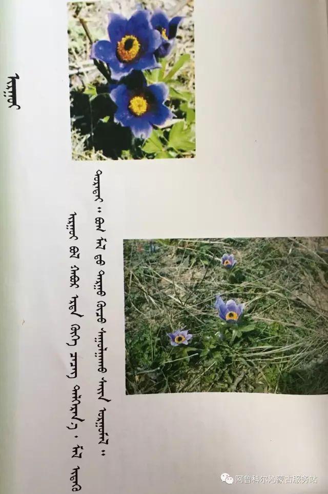 100 多种草的蒙古文介绍 第20张 100 多种草的蒙古文介绍 蒙古文库
