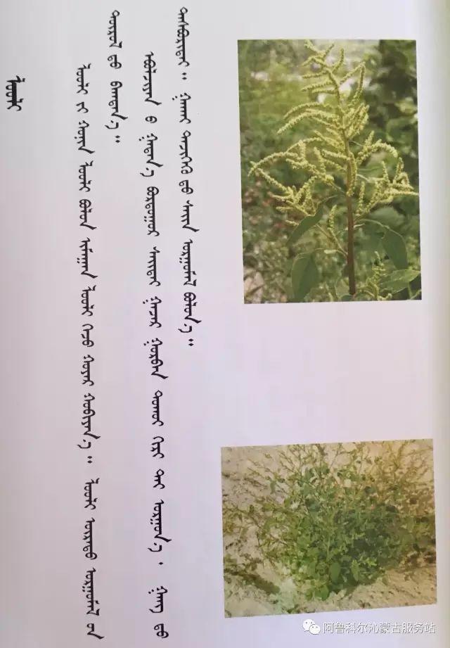 100 多种草的蒙古文介绍 第29张 100 多种草的蒙古文介绍 蒙古文库