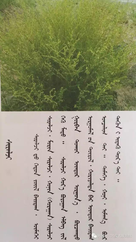 100 多种草的蒙古文介绍 第28张 100 多种草的蒙古文介绍 蒙古文库