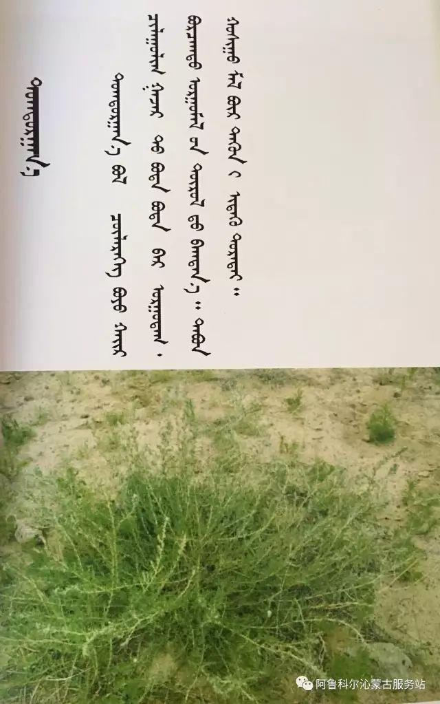 100 多种草的蒙古文介绍 第25张 100 多种草的蒙古文介绍 蒙古文库