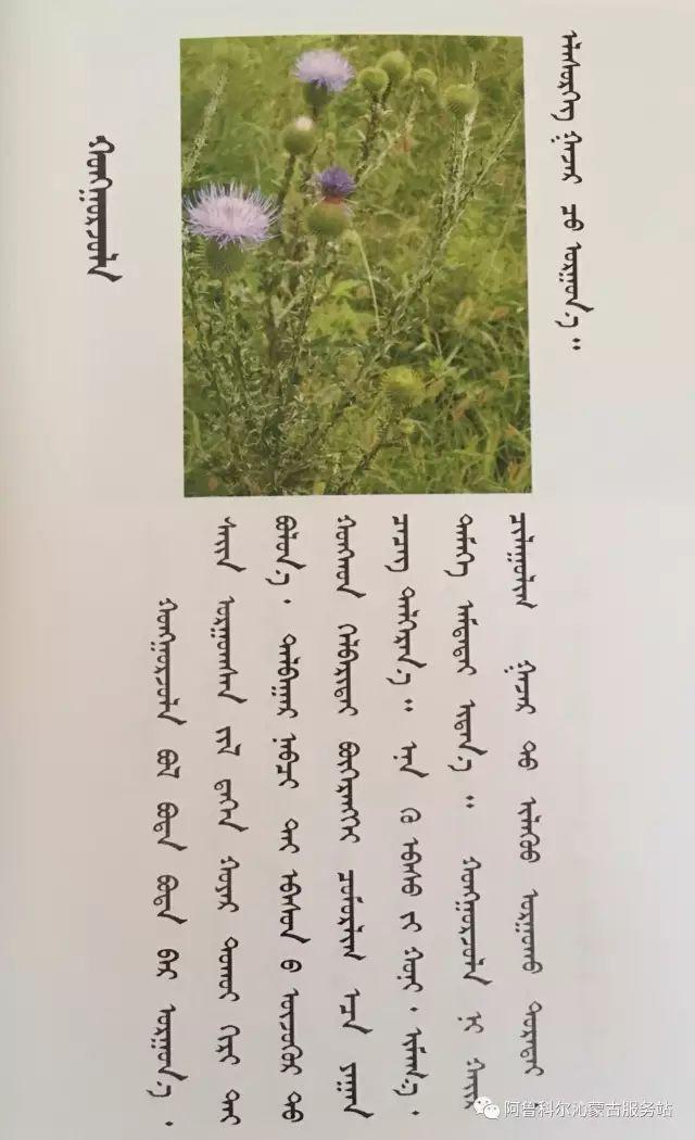 100 多种草的蒙古文介绍 第31张 100 多种草的蒙古文介绍 蒙古文库