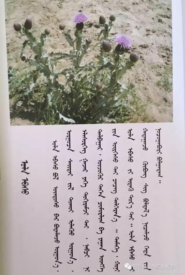 100 多种草的蒙古文介绍 第32张 100 多种草的蒙古文介绍 蒙古文库