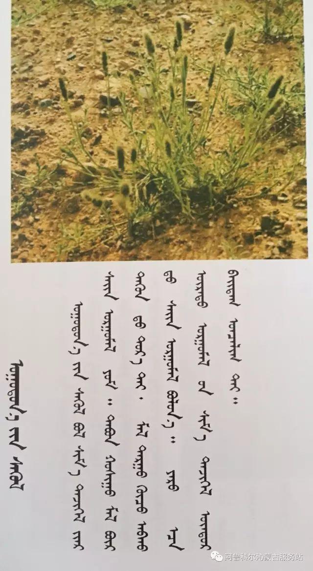 100 多种草的蒙古文介绍 第35张 100 多种草的蒙古文介绍 蒙古文库