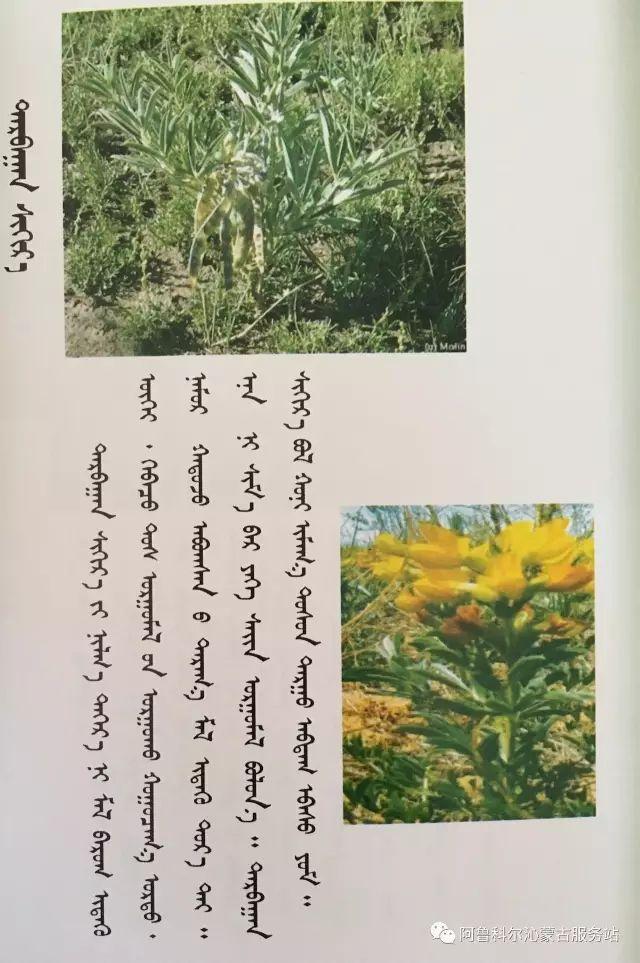 100 多种草的蒙古文介绍 第37张 100 多种草的蒙古文介绍 蒙古文库