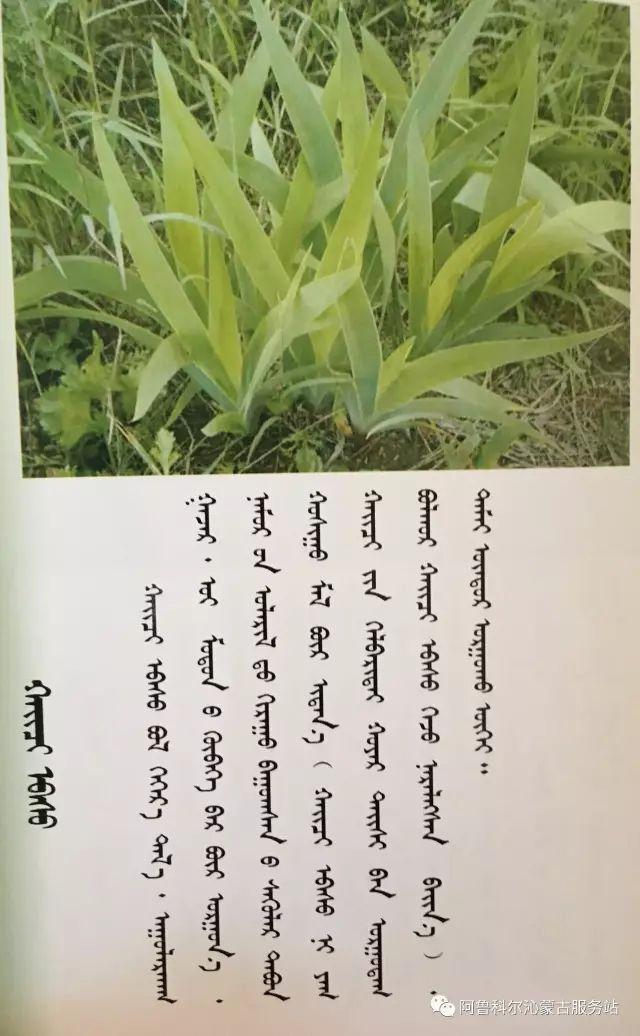 100 多种草的蒙古文介绍 第40张 100 多种草的蒙古文介绍 蒙古文库