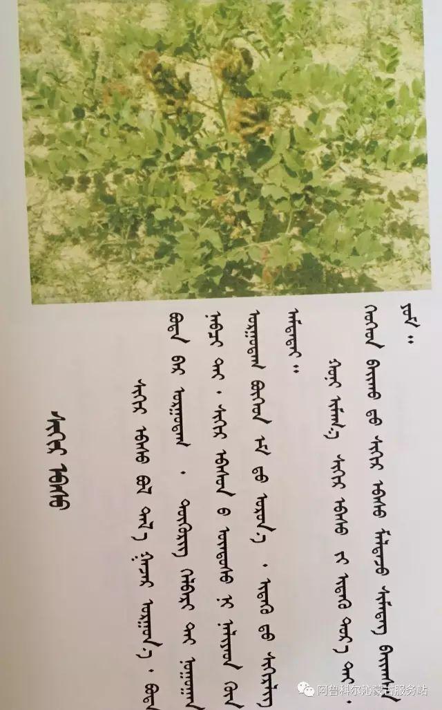 100 多种草的蒙古文介绍 第42张 100 多种草的蒙古文介绍 蒙古文库